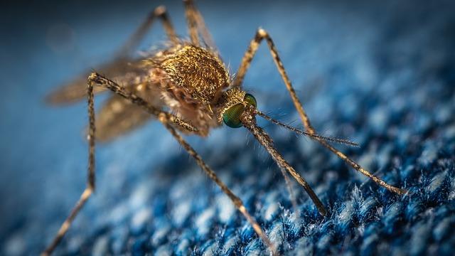 komár na džínách